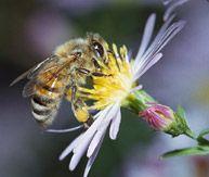 Секс и трутневые пчелы